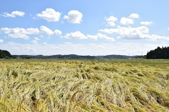 稲刈り2017_01.jpg